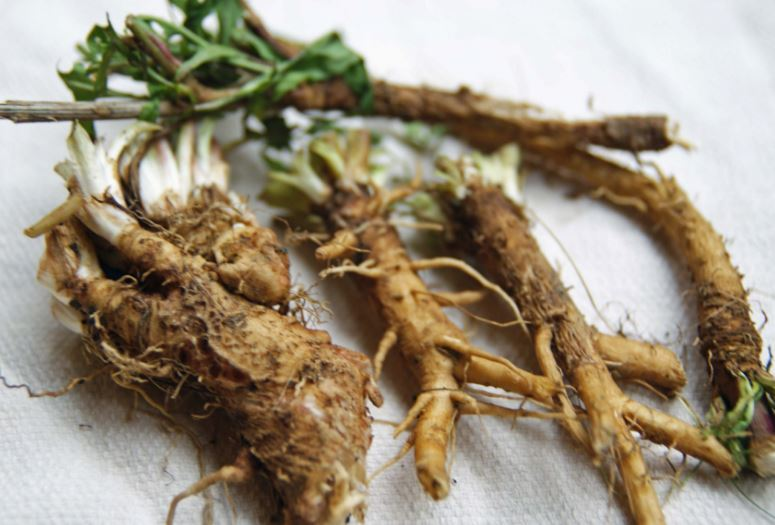 The Health Benefits of Chicory Root