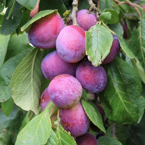 Health Benefits of Albakara Fruit