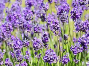 Lavender Oil for Thyroid