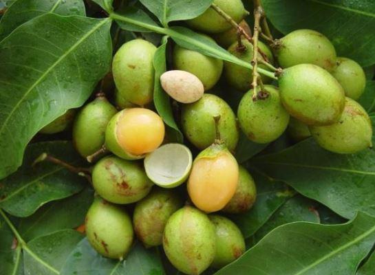 Health benefits of the quenepa fruit