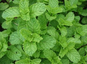 Spearmint Essential Oils for Thyroid Conditions