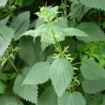 The Best Stinging Nettle Shampoo