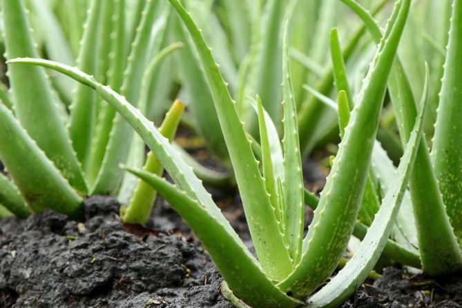 Does Aloe Vera for Lipoma Work? - Diet and Nutrition